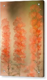 Globe Mallow Impressions Acrylic Print