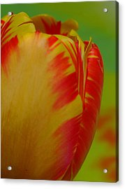 Globe Tulip Acrylic Print by Juergen Roth