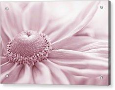 Gloriosa Daisy In Pink  Acrylic Print