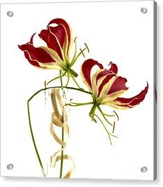 Gloriosa Lily. Acrylic Print