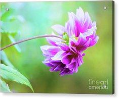 Glorious Autumn Dahlia Acrylic Print