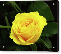 Glorious Yellow Rose Acrylic Print