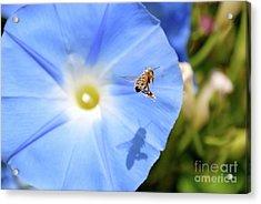 Glory Bee Acrylic Print