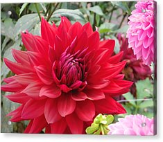 Glory Crimson Dahlia  Acrylic Print