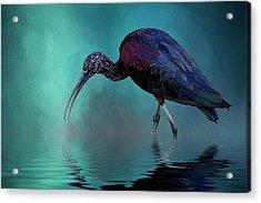 Glossy Ibis Looking For Breakfast Acrylic Print by Cyndy Doty