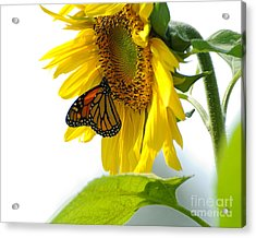 Glowing Monarch On Sunflower Acrylic Print