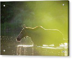 Glowing Moose // Glacier National Park  Acrylic Print