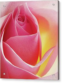 Glowing Pink Rose Acrylic Print