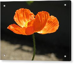 Glowing Poppy Acrylic Print by Helaine Cummins