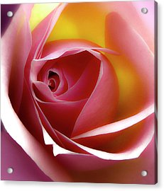 Glowing Rose Hdr Acrylic Print