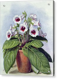 Gloxinia In A Pot Acrylic Print
