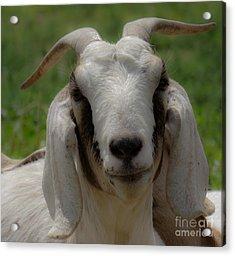Goat 1 Acrylic Print