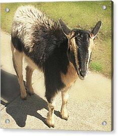 Goat Acrylic Print by Heather Applegate