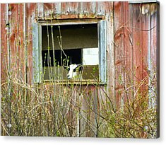 Goat In The Window Acrylic Print by Donald C Morgan