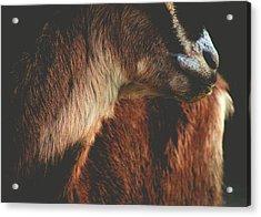 Goat Love Acrylic Print