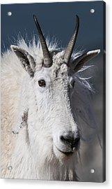 Acrylic Print featuring the photograph Goat Portrait by Gary Lengyel