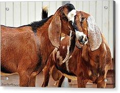 Goat Secrets Acrylic Print