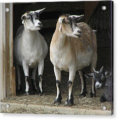 Acrylic Print featuring the photograph Goat Trio by Jeanette Oberholtzer