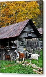 Goats At Rose Briar Farm Acrylic Print by Alan Lenk