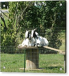 Acrylic Print featuring the photograph Goats Dreaming Of Trouble by Jeanette Oberholtzer