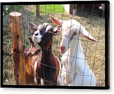 Acrylic Print featuring the photograph Goats by Felipe Adan Lerma