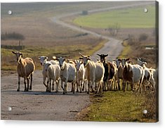 Goats Walking Home Acrylic Print
