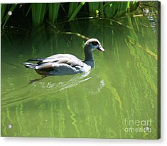 Going For A Swim Acrylic Print by Methune Hively