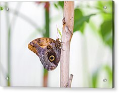 Acrylic Print featuring the photograph Gold And Brown Butterfly by Raphael Lopez