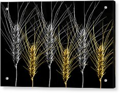 Gold And Silver Wheat Acrylic Print