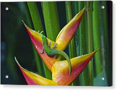 Gold Dust Day Gecko Acrylic Print by Sean Griffin