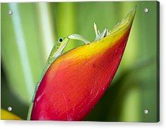 Gold Dust Day Gecko Acrylic Print