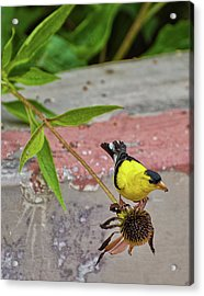 Acrylic Print featuring the photograph Gold Finch by Rick Hartigan