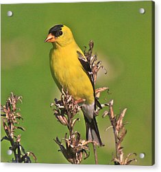 Gold Finches-6 Acrylic Print by Robert Pearson