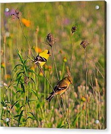 Gold Finches Acrylic Print by Robert Pearson