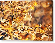 Gold Rush Acrylic Print