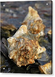 Gold Whelks On Oysters Acrylic Print by Thomas Lovelace