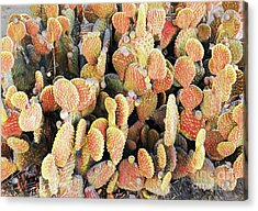 Acrylic Print featuring the photograph Golden Beaver Tail Catcus by Linda Phelps