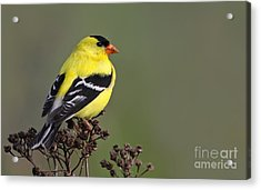 Golden Bird Acrylic Print by Mircea Costina Photography