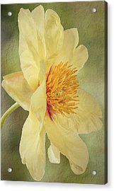 Golden Bowl Tree Peony Bloom - Profile Acrylic Print by Patti Deters