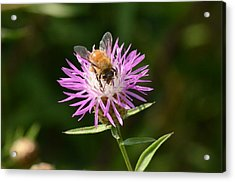 Golden Boy-bee At Work Acrylic Print