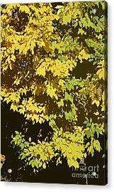 Golden Branches Acrylic Print by Carol Lynch