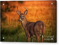 Golden Buck Acrylic Print