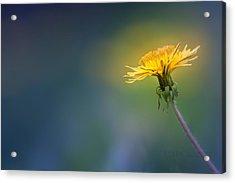Golden  Acrylic Print by Bulik Elena
