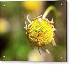 Golden Burst Acrylic Print