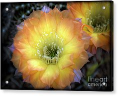 Golden Cactus Bloom Acrylic Print by Saija  Lehtonen