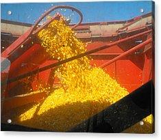 Golden Corn Acrylic Print