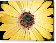 Golden Crown - Daisy Acrylic Print