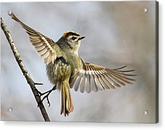 Golden-crowned-kinglet Acrylic Print
