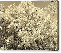 Golden Cypress - Sepia Acrylic Print