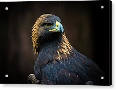 Golden Eagle 3 Acrylic Print